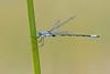 Sweetflag Spreadwing (Lestes forcipatus)