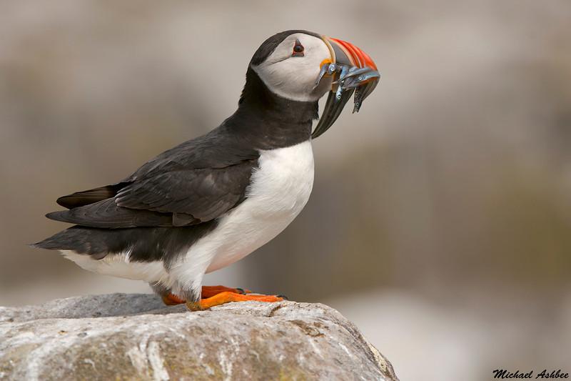Puffin,Staple Island,England