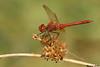 Saffron winged meadowhawk,Nanaimo,B.C.