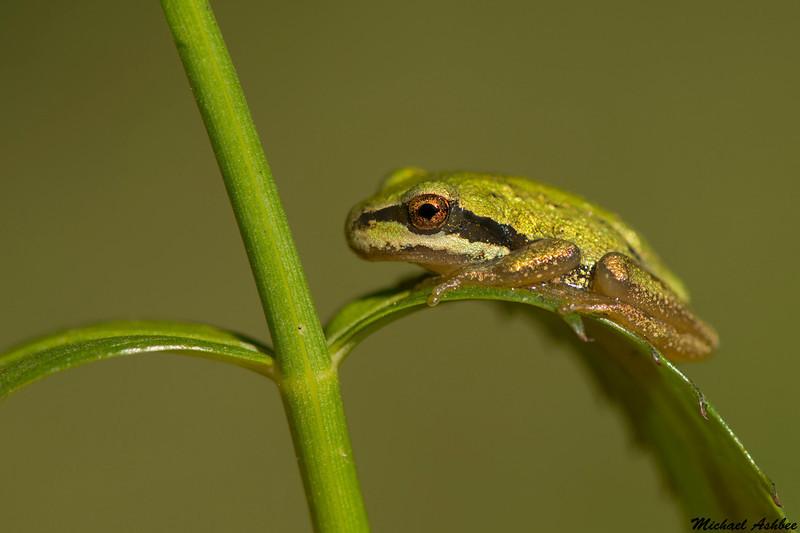 Pacific Tree Frog,Victoria,B.C.