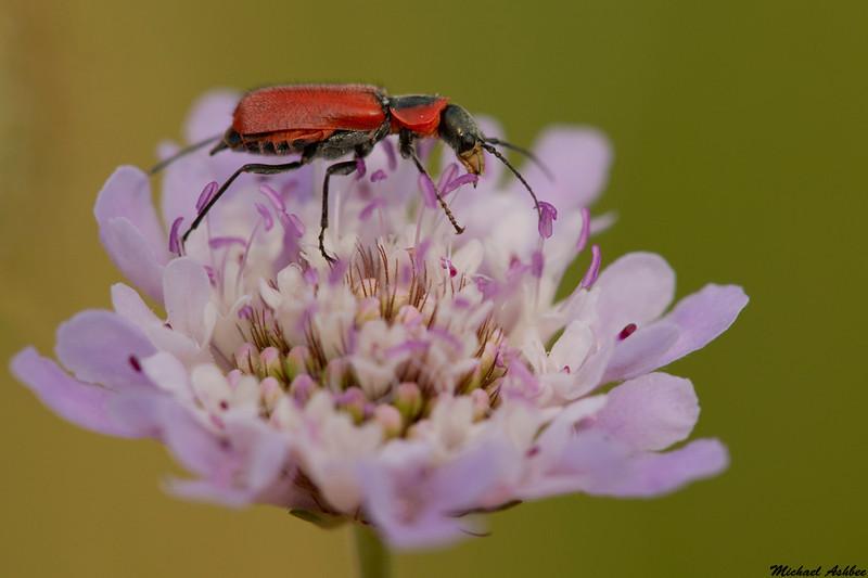 Beetle,Camargue,France