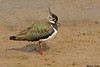 Northern Lapwing,Titchwell R.S.P.B.,England