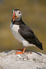 Puffin,Staple Island,England