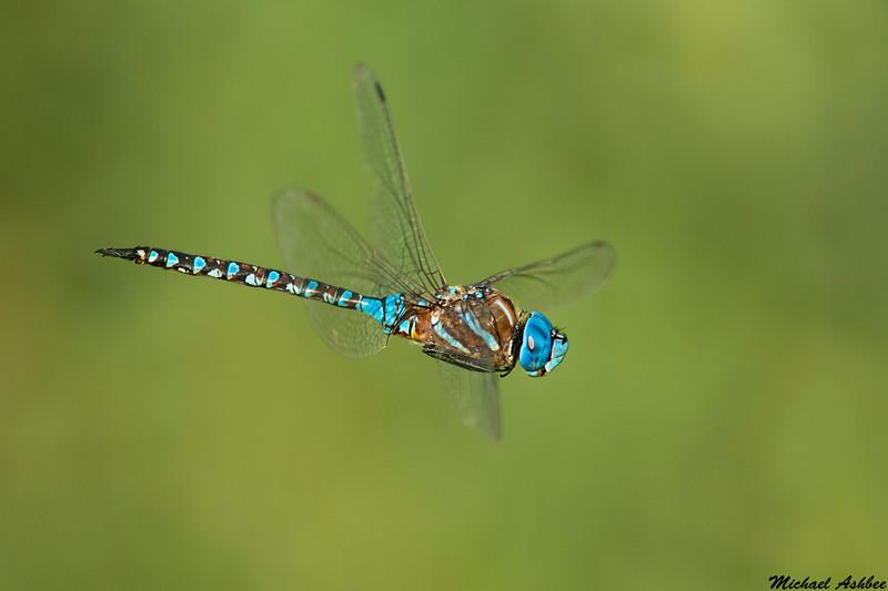 Blue eyed Darner,Victoria,B.C.