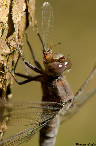 Chalk fronted Corporal with Emma's Dancer,Rolley Lake,B.C.