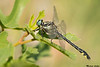 Common Clubtail,Rhone river,France