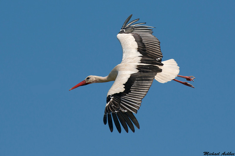 White Stork,Camargue,France