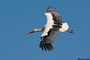 White Stork,Camargue,France