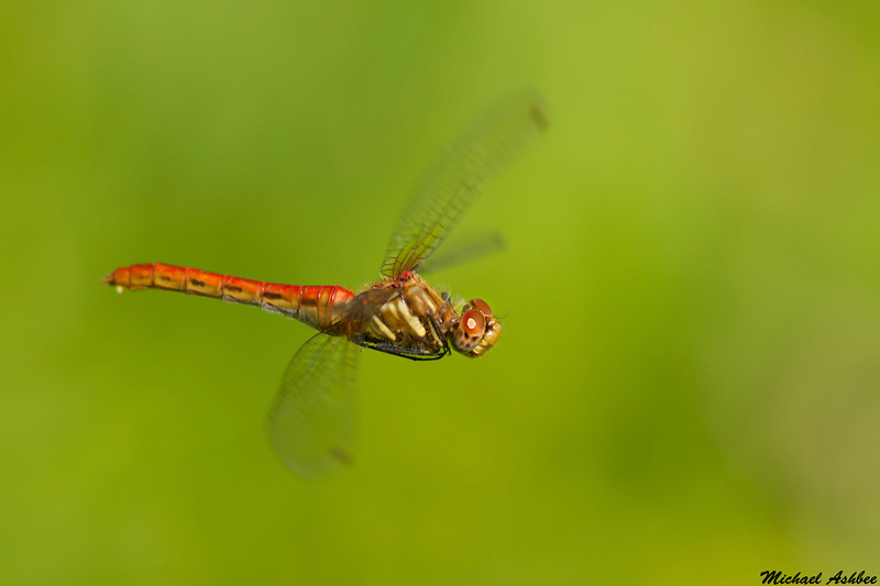 Striped Meadowhawk, Victoria,B.C.