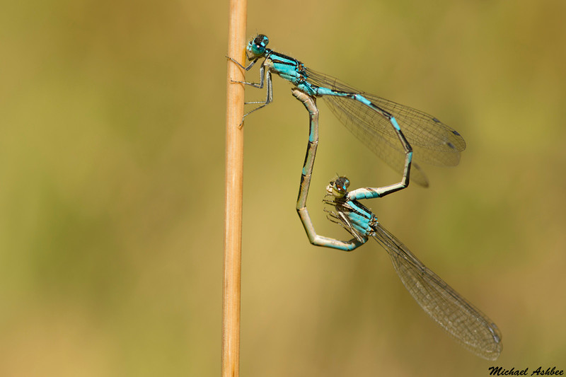 Bluet species,Chilliwack,B.C.
