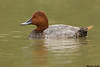Pochard,Camargue,France
