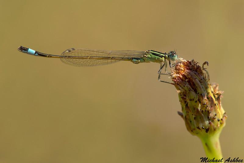 Common Bluetail,Camargue,France