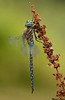 Variable Darner,Cowichan River,B.C.