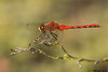 White-faced Meadowhawk,Burns bog,Vancouver