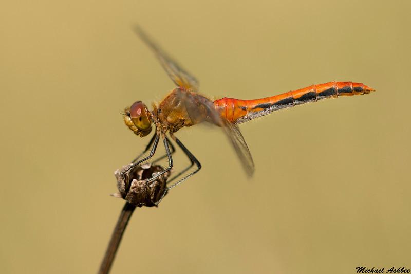 Saffron-winged Meadowhawk,Chilliwack,B.C.