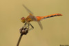 Saffron-winged Meadowhawk,Chilliwack,B.C.