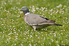 Wood pigeon,Woking,England
