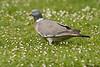 Wood pigeon,Woking,England