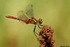 Striped Meadowhawk,Cowichan,B.C.