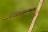 Small red damsel,La Crau,France
