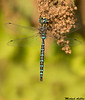 Paddle tailed Darner,Victoria,B.C.