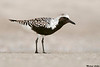 Black bellied plover,Naples,Florida