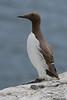 Guillemot,Inner Farne Island,England