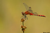 White-faced Meadowhawk,Rolley lake,B.C.