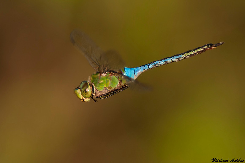 Common Green Darner,Parksville,B.C.