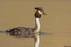 Australian Crested Grebe