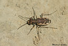 New Zealand common Tiger beetle