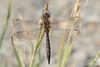 Ranger Dragonfly (Procordulia Smithii)