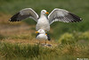 Great Black backed gulls,Farne Islands,U.K.