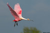 Roseate Spoonbill,High Island Rookery,Texas