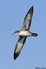 Pink footed Shearwater,Swiftsure Banks,B.C.