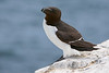 Razorbill,Farne islands,U.K.