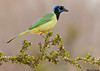 Green Jay,McAllen,Texas