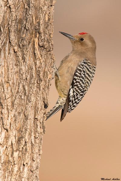 Gila Woodpecker,Seirra Vista,AZ
