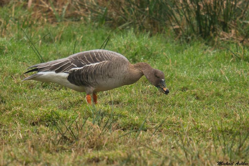 Tundra Bean Goose,Nestucca Bay NWR,Oregon