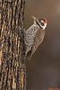 Arizona Woodpecker,Madera Canyon,Arizona