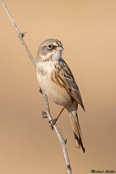 Sagebrush Sparrow,Sedona,Arizona
