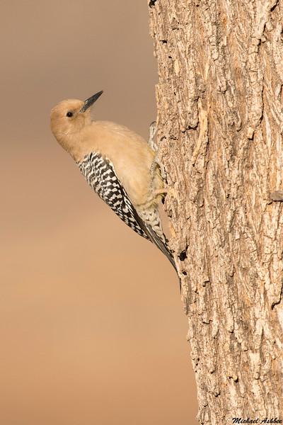 Gila Woodpecker,Sierra Vista,Arizona