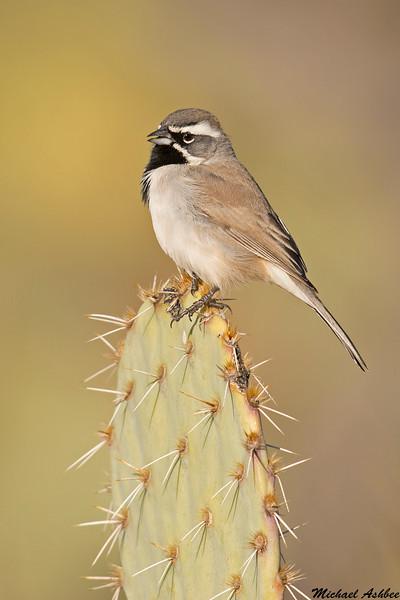 Black Throated Sparrow,Tucson,Arizona