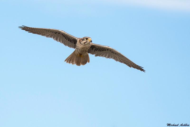 Prairie Falcon,Tucson,Arizona