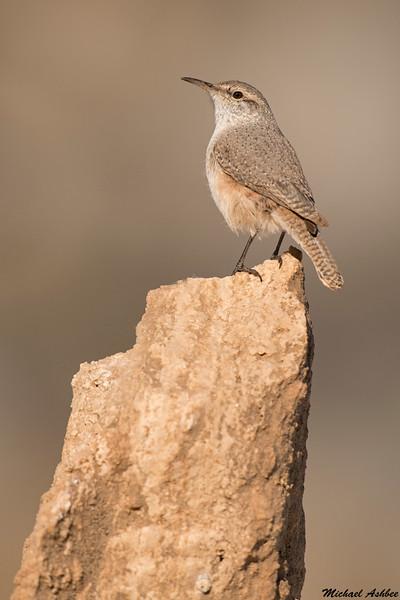 Rock Wren,Sedona,Arizona