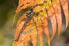 Bush Giant Dragonfly (Uropetala carovei)