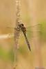 Ranger Dragonfly (Procordulia smithii )