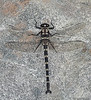 Mountain Giant Dragonfly (Uropetala Chiltoni)