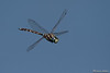 Lancer Dragonfly (Aeshna brevistyla)