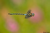 Paddle-tailed Darner,Victoria,B.C.